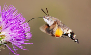 hummingbird-hawk-moth-facts-for-kids